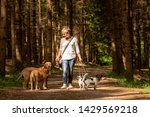 Stock photo walk with many dogs on a leash dog walker with different dog breeds in the beautiful forest 1429569218