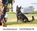K9 working German Shepherd police dog training, black and brown shepherd canine doing agility, police K9 unit with handler
