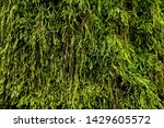 Thick And Fragrant Moss In The...