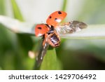 A Red Ladybug On A Green Leaf ...