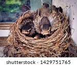 A Nest Of American Robin New...