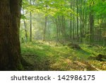 dawn in an old forest | Shutterstock . vector #142986175