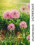 field meadow garden with allum...