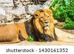 Stock photo lion lying portrait lion portrait lion looking lion lying 1430161352