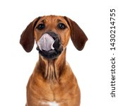 Stock photo funny head shot of wheaten rhodesian ridgeback puppy dog with dark muzzle sitting facing front 1430214755