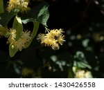 Linden Flowers On A Green Tree...