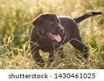 Stock photo cute puppy labrador tongue sticking out standing in the grass 1430461025