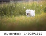 Stock photo white shepherd puppy is running on the meadow berger blanc suisse cute puppy 1430591912