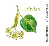 Flowers And Leaves Of A Linden...