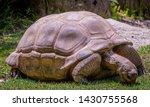 Stock photo desert tortoise eating grass at zoo 1430755568