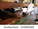 Milk Feeding Of A Calf.