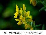 Yellow Flowers Of Gorse Bush  ...