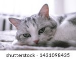 Stock photo beautiful british cat licking in bed and looking at the camera pet comfortably in a homely 1431098435