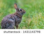 Young Eastern Cottontail ...