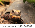 Stock photo close up view of the head movement made by a morrocoyan colombian tortoise 1431363362