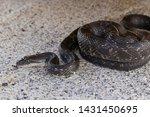 Western Rat Snake  Pantherophis ...