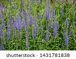 veronica longifolia  known as...
