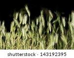 Wild Barley Grass  Hare Barley...