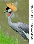 A Beautiful Bird Crowned Crane.