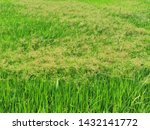 tall fringe rush, sedge weed in paddy field