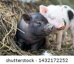 Cute Little Pigs In The Farm....
