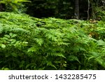 in the wild coniferous forest ... | Shutterstock . vector #1432285475