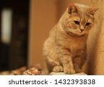 Magnificent Brown British Cat ...