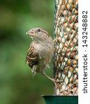 Female House Sparrow Sitting O...