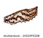 Colourful Chrysalis  Pupa Of...