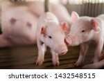 Small Pigs At The Farm Swine I...