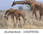 Giraffe With Family