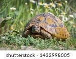 Stock photo eastern hermann s tortoise testudo hermanni boettgeri hermann s tortoises are small to medium 1432998005