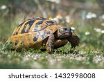 Stock photo eastern hermann s tortoise testudo hermanni boettgeri hermann s tortoises are small to medium 1432998008