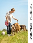 Stock photo dog sitter walks with many dogs on a leash dog walker with different dog breeds in the beautiful 1433033312