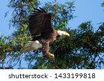 Closeup Of A Bald Eagle Landing ...