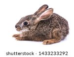 Stock photo siamese hare lepus peguensis mamal of south east asia the hare is a small to moderate sized 1433233292