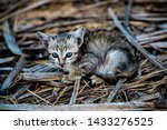 Stock photo curious kitten with blue eyes 1433276525
