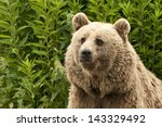Small photo of Portrait of a Kodiak Bear (Ursus arctos middendorffi)
