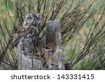 Baby Screech Owl In A Tree...
