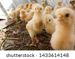 Many Chicks Were Kept In Farms.