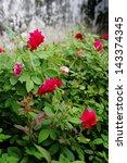 red rose flower  love concept | Shutterstock . vector #143374345