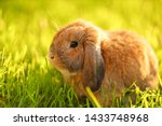 Stock photo little lop eared rabbit sits on the lawn dwarf rabbit breed ram at sunset sun summer warm day 1433748968