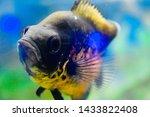 Shot Of An Oscar Fish In An...