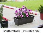 Petunias  Colorful Petunia...