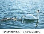 Swan. White Swans. Goose. Swan...