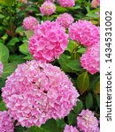 Small photo of Pink Hydrangea Flower Color Meaning – Linked to romance, heartfelt emotions, love, weddings, and marriage