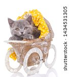 Stock photo scottish straight kitten a kitten like a small child is in a stroller purebred kitten at the 1434531305