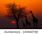 Silhouettes Of Giraffes And...