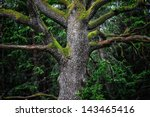 Detail Of An Majestic Old Oak...