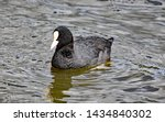 Coot Swims On A Lake In England